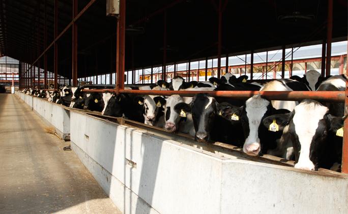 4,500頭の牛を飼育。そのうち約9割がホルスタインの雄で、そのほとんどが十勝の牧場で生まれた仔牛だ。