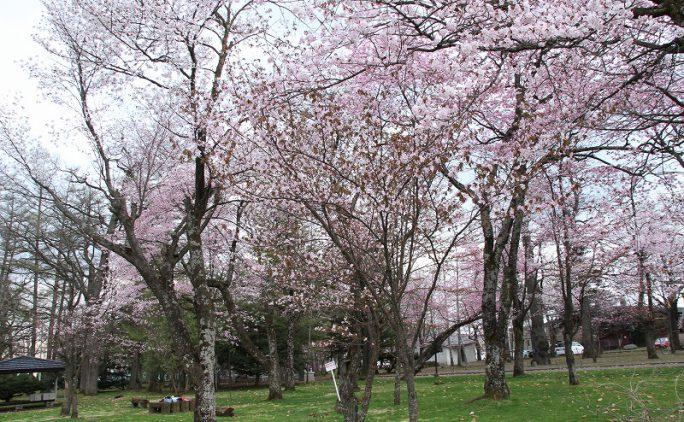 GWから楽しめる!十勝の桜百景