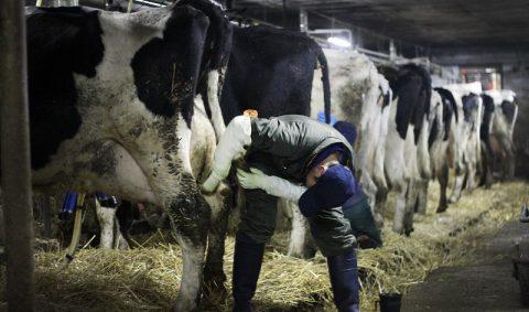 愛情を込められて育った牛から搾乳された牛乳の味
