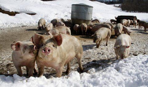 十勝は豚肉もおいしい! 十勝で放牧されている「どろぶた」